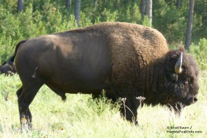 Custer State Park Wildlife